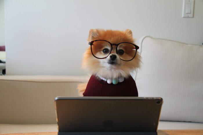 iPadで作業するポメラニアン
